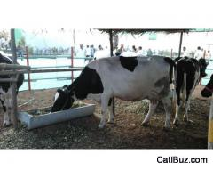 HF cow for sell 30 liter per day @ 1,00,000 Rs