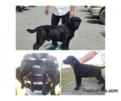 Labrador Female in Pune