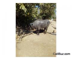 Bhadawari Buffalo from Kalamb for 40000