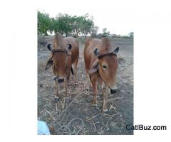 Khalli Bull from Bramangaon for 100000