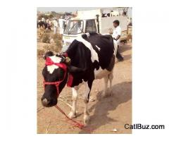 Jersey Cow from Daund for 75000