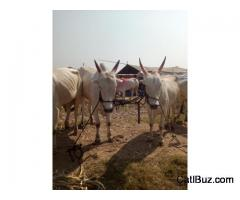 Khillari Bull from Mirajgaon for 50000