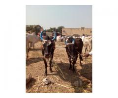 Khillari Bull from Mirajgaon for 60000