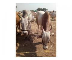 Khillari Bull from Shreegonda for 60000