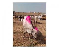 Khillari Bull from Shreegonda for 18000