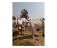 Khillari Bull from Uruli Kanchan for 120000