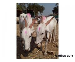 Khillari Bull from Chalisgaon for 60000