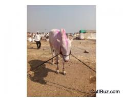 Khillari Bull from Nagpur for 100000