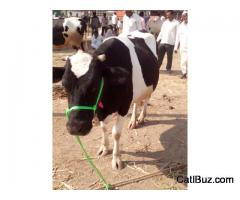Jersey Cow from Shirur for 50000
