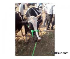 Jersey Cow from Walki for 60000