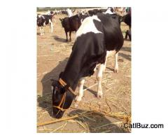 Jersey Cow from Supa for 50000