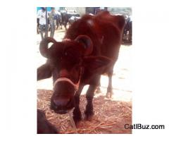 Surti Buffalo from Khed for 100000