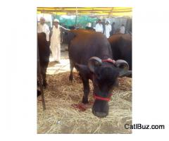 Murrah Buffalo from Chakan for 80000