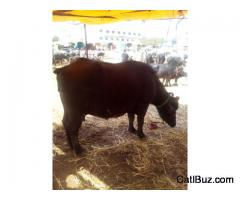Murrah Buffalo from Chakan for 60000
