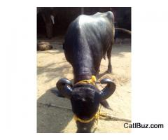 Jaffrabadi Buffalo from Chakan for 100000