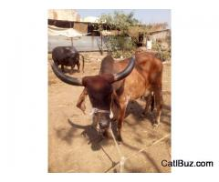 Gir Cow From Chakan for 50000