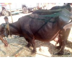 Surti Buffalo from Chakan for 60000