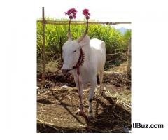 Khillari Bull from Purandar for 100000